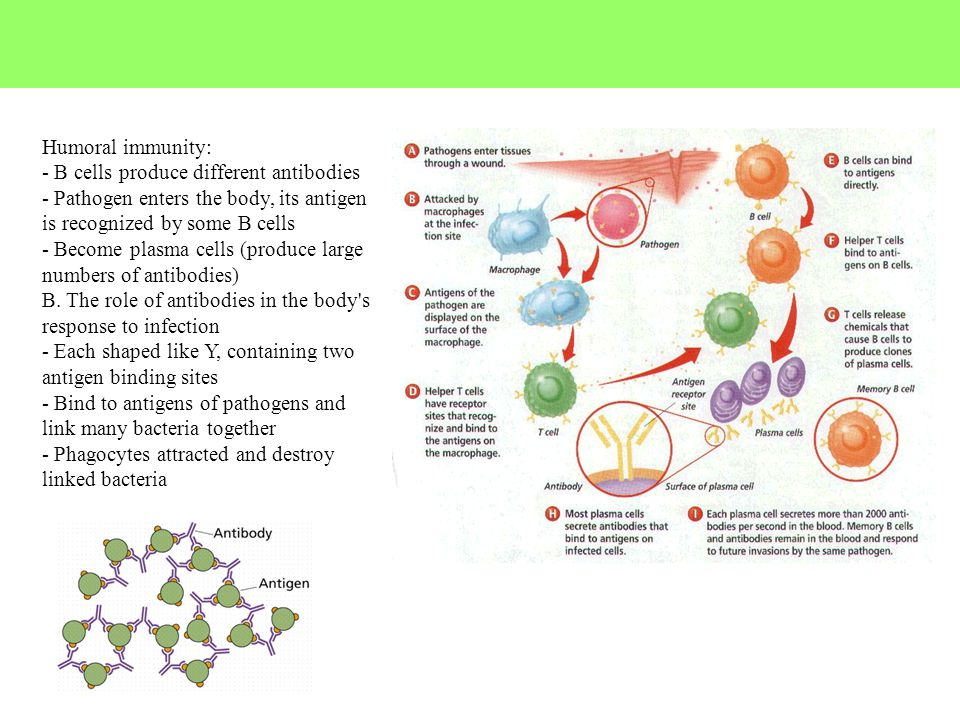 Humoral immunity: - B cells produce different antibodies - Pathogen enters the body, its antigen is recognized by some B cells - Become plasma cells (