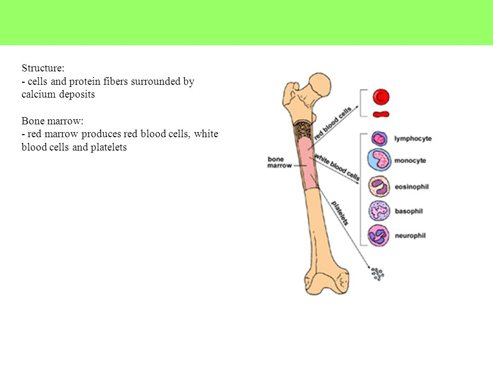 Structure: - cells and protein fibers surrounded by calcium deposits Bone marrow: - red marrow produces red blood cells, white blood cells and platele