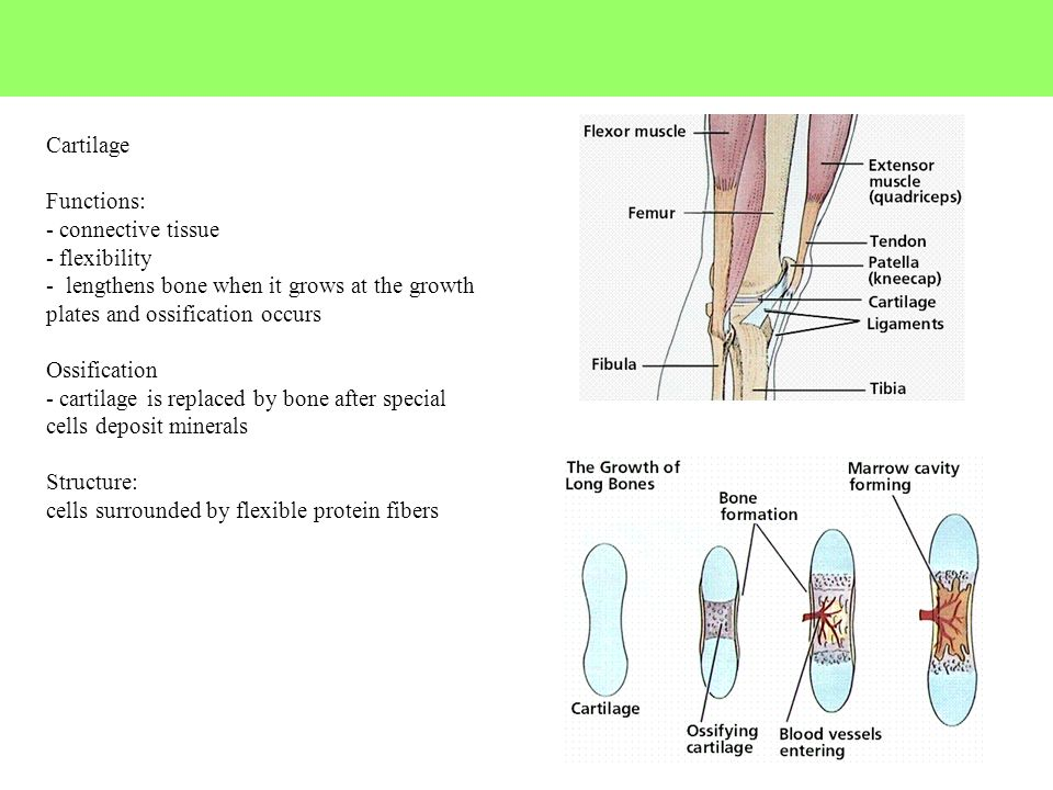Cartilage Functions: - connective tissue - flexibility - lengthens bone when it grows at the growth plates and ossification occurs Ossification - cart