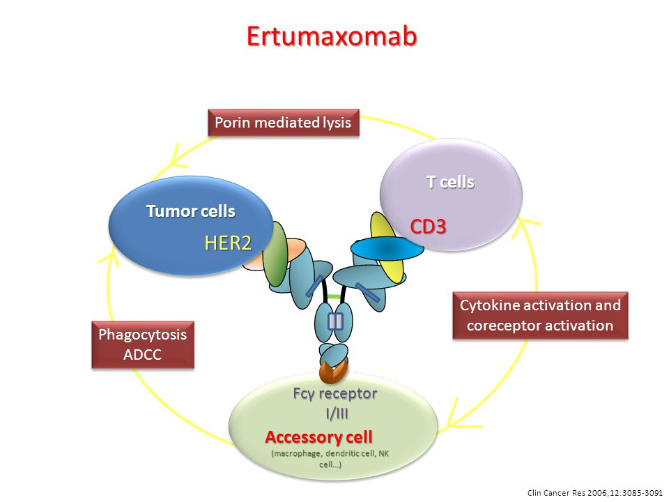 HER2 Tumor cells T cells CD3 Accessory cell (macrophage, dendritic cell, NK cell…) Fcγ receptor I/III I/III Cytokine activation and coreceptor activation Cytokine activation and coreceptor activation Phagocytosis ADCC Phagocytosis ADCC Porin mediated lysis Ertumaxomab Clin Cancer Res 2006;12:3085-3091