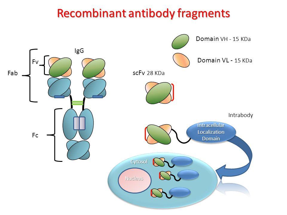 Domain VH - 15 KDa Domain VL - 15 KDa IgG Fv Fab Fc Recombinant antibody fragments VH scFv 28 KDa Cytosol Nucleus Intrabody IntracellularLocalizationDomainIntracellularLocalizationDomain