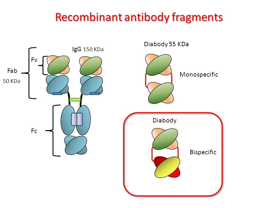 Diabody 55 KDa Monospecific Recombinant antibody fragments Bispecific Diabody Fv Fc VH IgG 150 KDa Fab 50 KDa