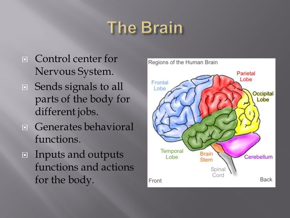  Control center for Nervous System.  Sends signals to all parts of the body for different jobs.  Generates behavioral functions.  Inputs and outpu