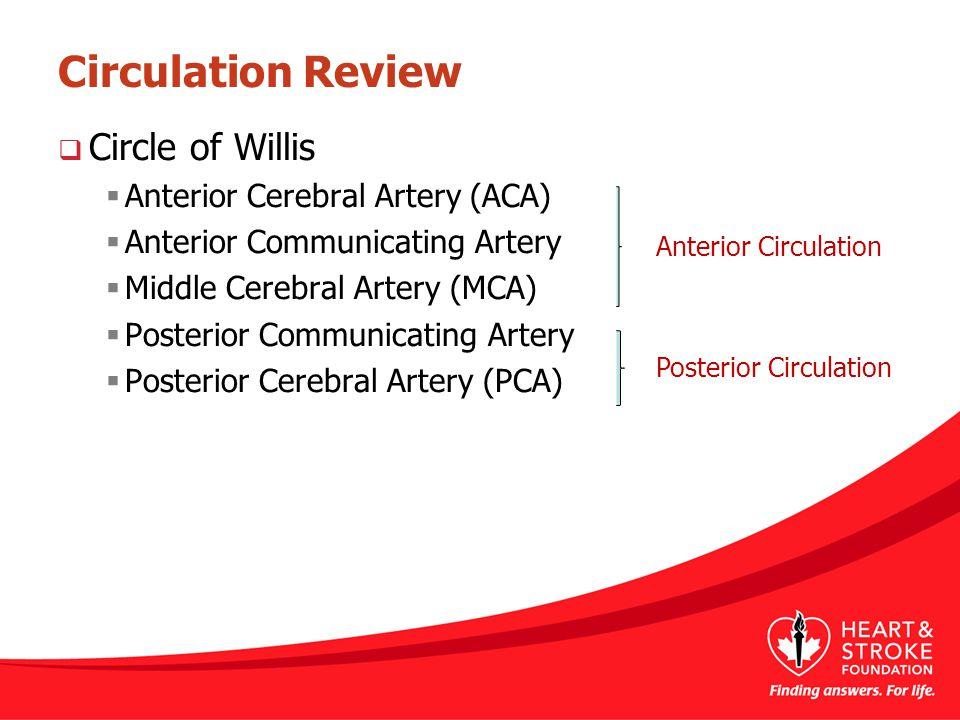 Circulation Review  Circle of Willis  Anterior Cerebral Artery (ACA)  Anterior Communicating Artery  Middle Cerebral Artery (MCA)  Posterior Comm