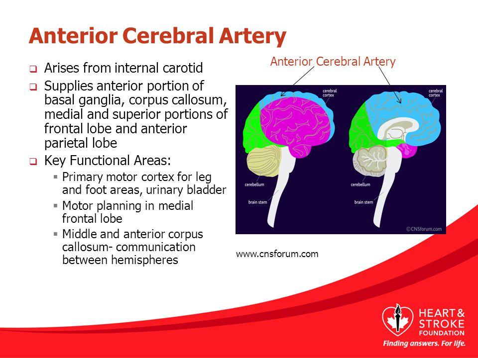 Anterior Cerebral Artery  Arises from internal carotid  Supplies anterior portion of basal ganglia, corpus callosum, medial and superior portions of