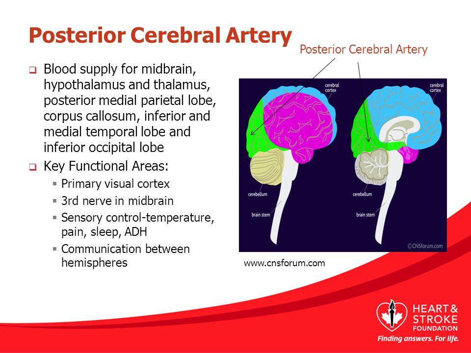 Posterior Cerebral Artery  Blood supply for midbrain, hypothalamus and thalamus, posterior medial parietal lobe, corpus callosum, inferior and medial
