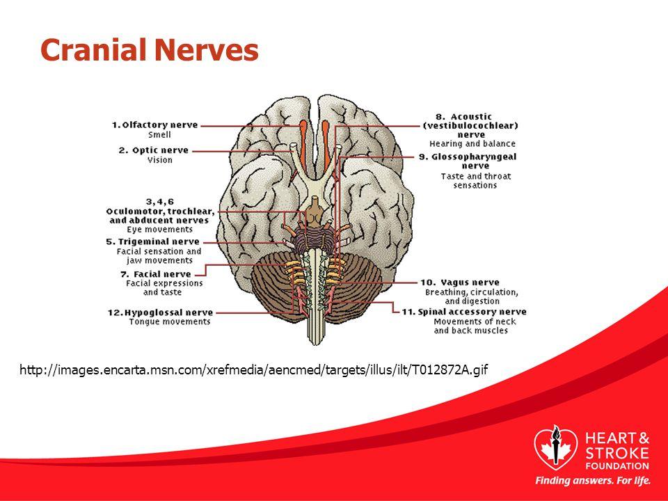 Cranial Nerves http://images.encarta.msn.com/xrefmedia/aencmed/targets/illus/ilt/T012872A.gif