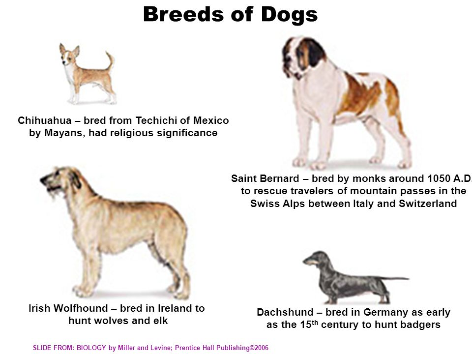 Breeds of Dogs Chihuahua – bred from Techichi of Mexico by Mayans, had religious significance Saint Bernard – bred by monks around 1050 A.D. to rescue