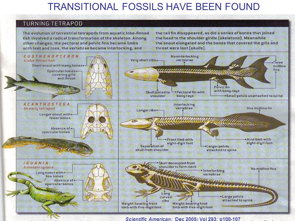 TRANSITIONAL FOSSILS HAVE BEEN FOUND Scientific American; Dec 2005; Vol 293; p100-107
