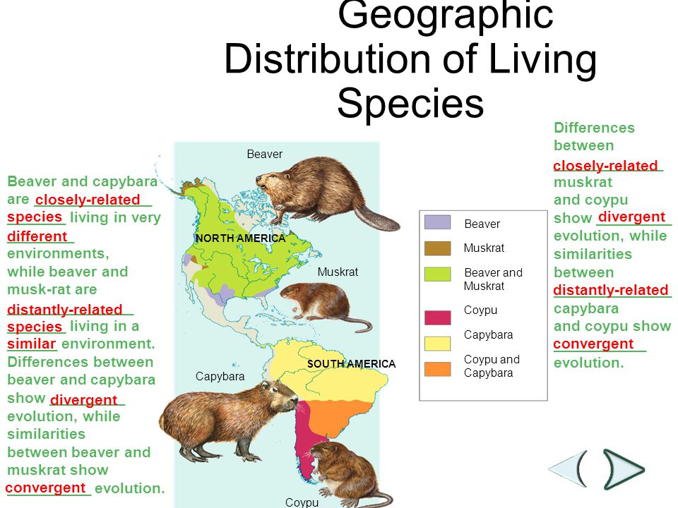 Figure 15–14 Geographic Distribution of Living Species Section 15-3 Beaver NORTH AMERICA Muskrat Capybara SOUTH AMERICA Coypu Beaver Muskrat Beaver an