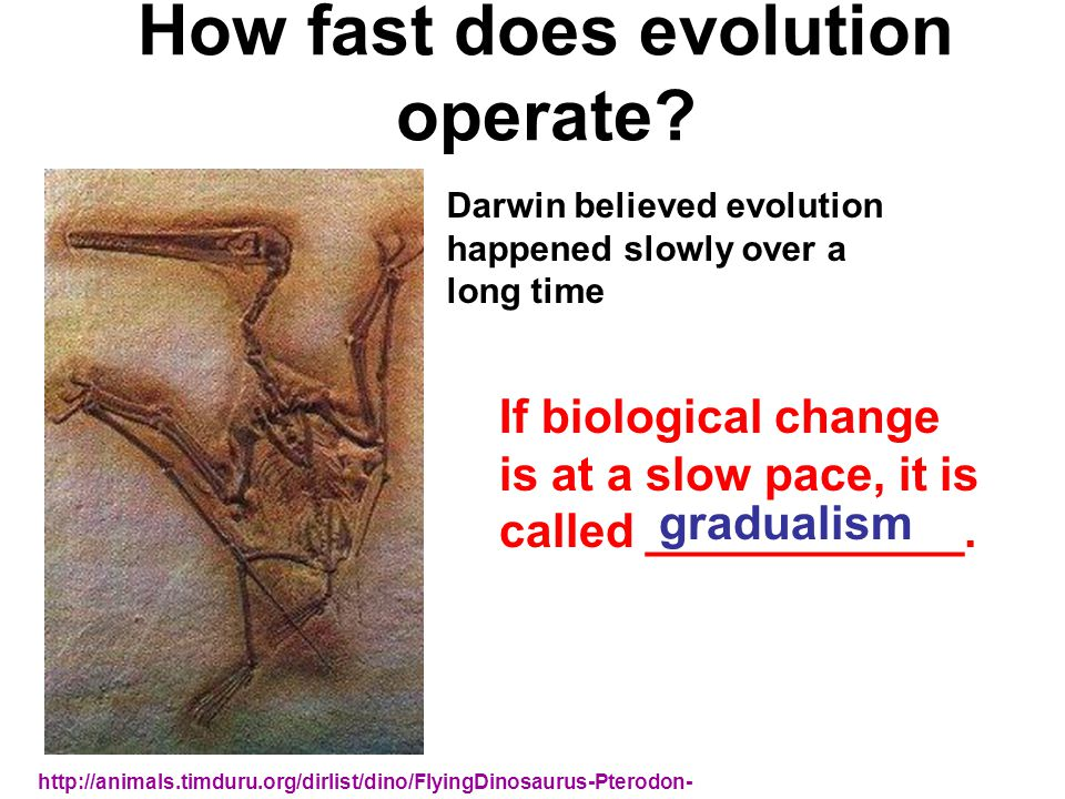 How fast does evolution operate? http://animals.timduru.org/dirlist/dino/FlyingDinosaurus-Pterodon- fossil.jpg If biological change is at a slow pace,