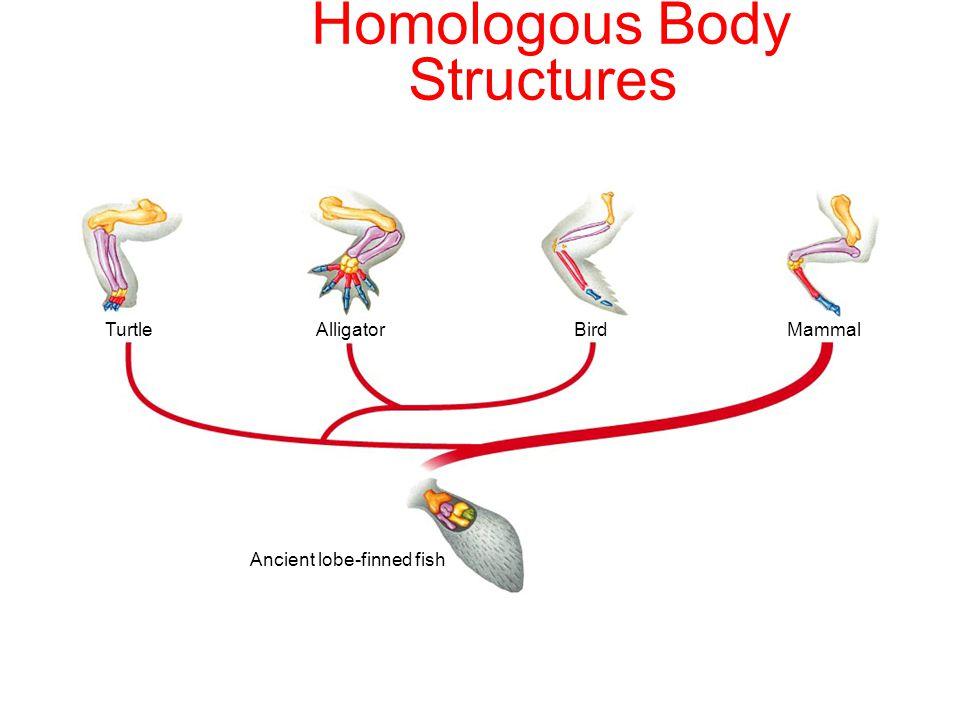 TurtleAlligatorBirdMammal Ancient lobe-finned fish Homologous Body Structures Section 15-3
