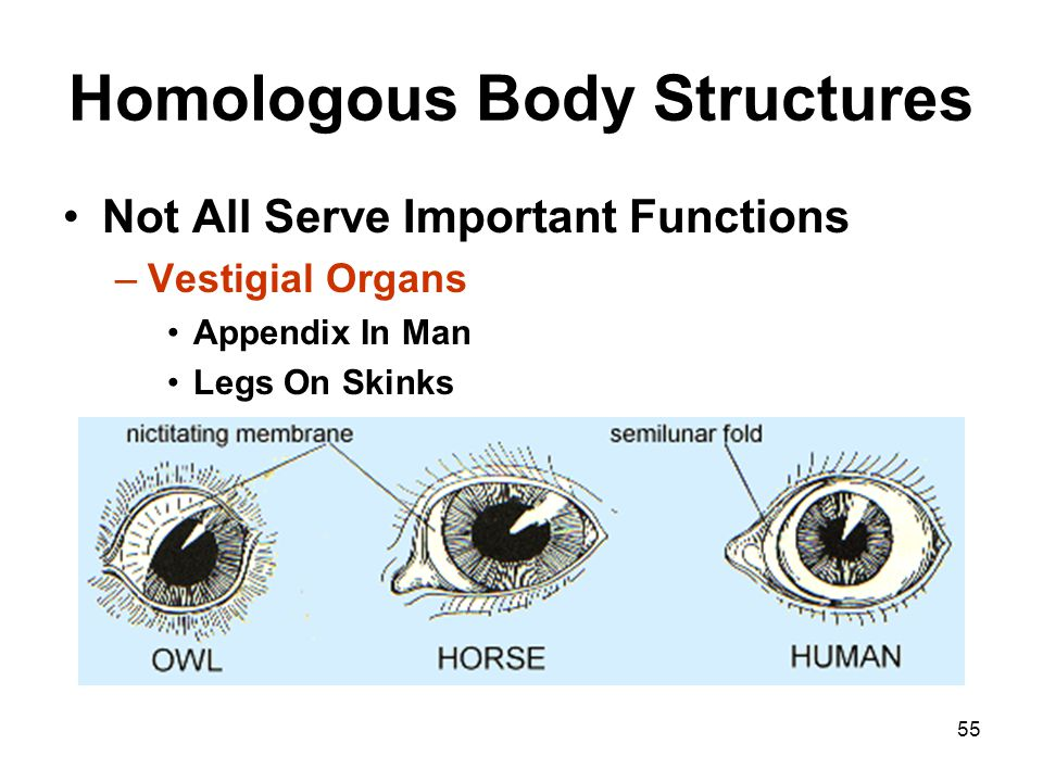 55 Homologous Body Structures Not All Serve Important Functions –Vestigial Organs Appendix In Man Legs On Skinks