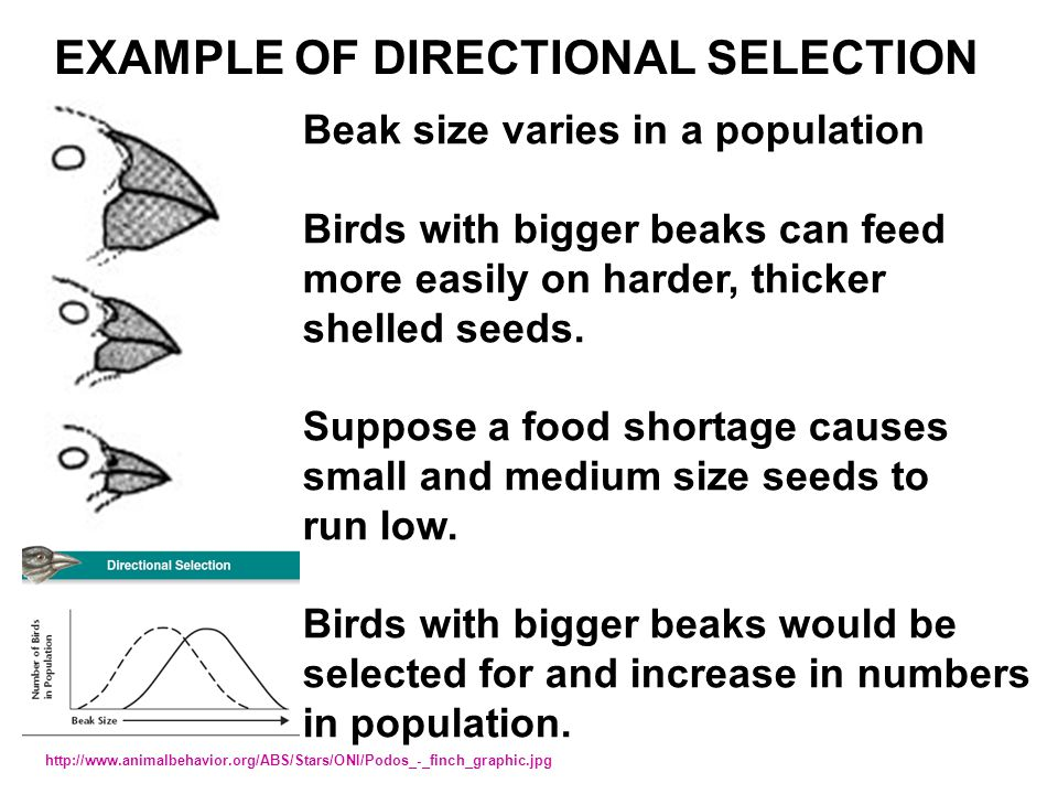 Beak size varies in a population Birds with bigger beaks can feed more easily on harder, thicker shelled seeds. Suppose a food shortage causes small a