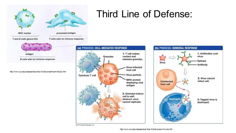 Third Line of Defense: http://www.uic.edu/classes/bios/bios100/lecturesf04am/lect23.htm http://www.uic.edu/classes/bios/bios100/lectures/immune.htm
