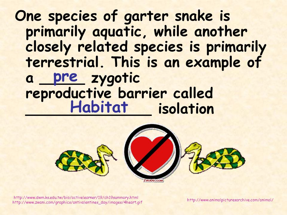 One species of garter snake is primarily aquatic, while another closely related species is primarily terrestrial. This is an example of a _____ zygoti
