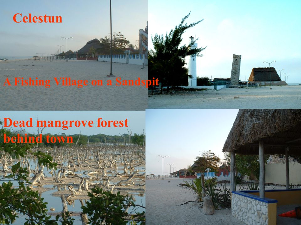 Celestun Dead mangrove forest behind town A Fishing Village on a Sandspit