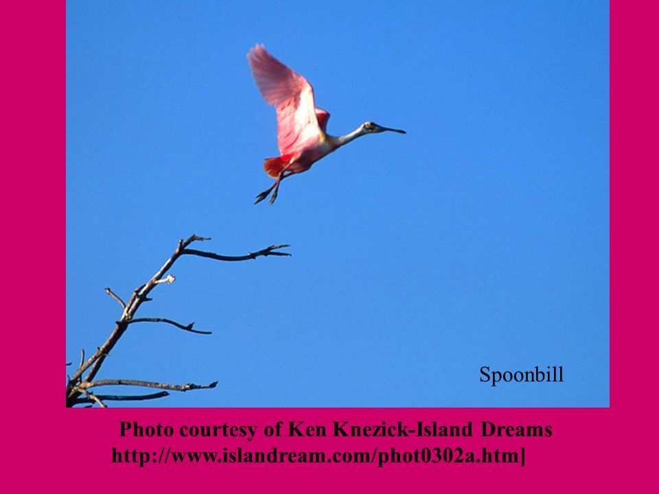 [Photo courtesy of Ken Knezick-Island Dreams http://www.islandream.com/phot0302a.htm] Spoonbill