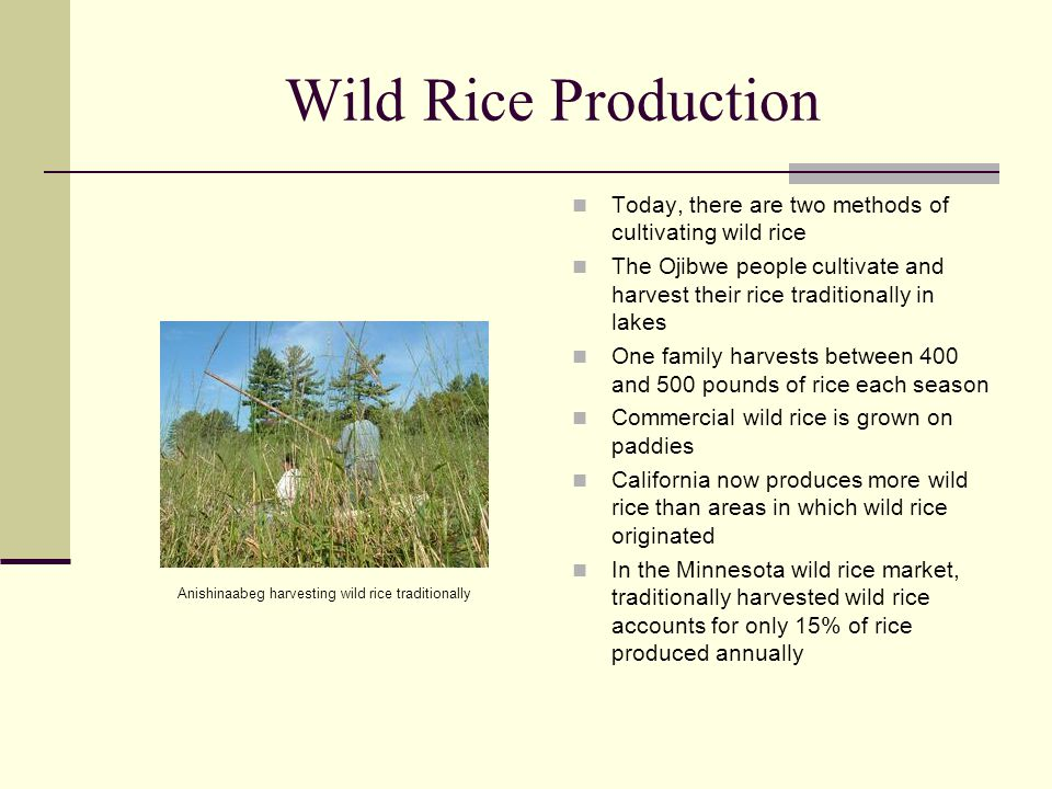 Wild Rice Production Today, there are two methods of cultivating wild rice The Ojibwe people cultivate and harvest their rice traditionally in lakes O