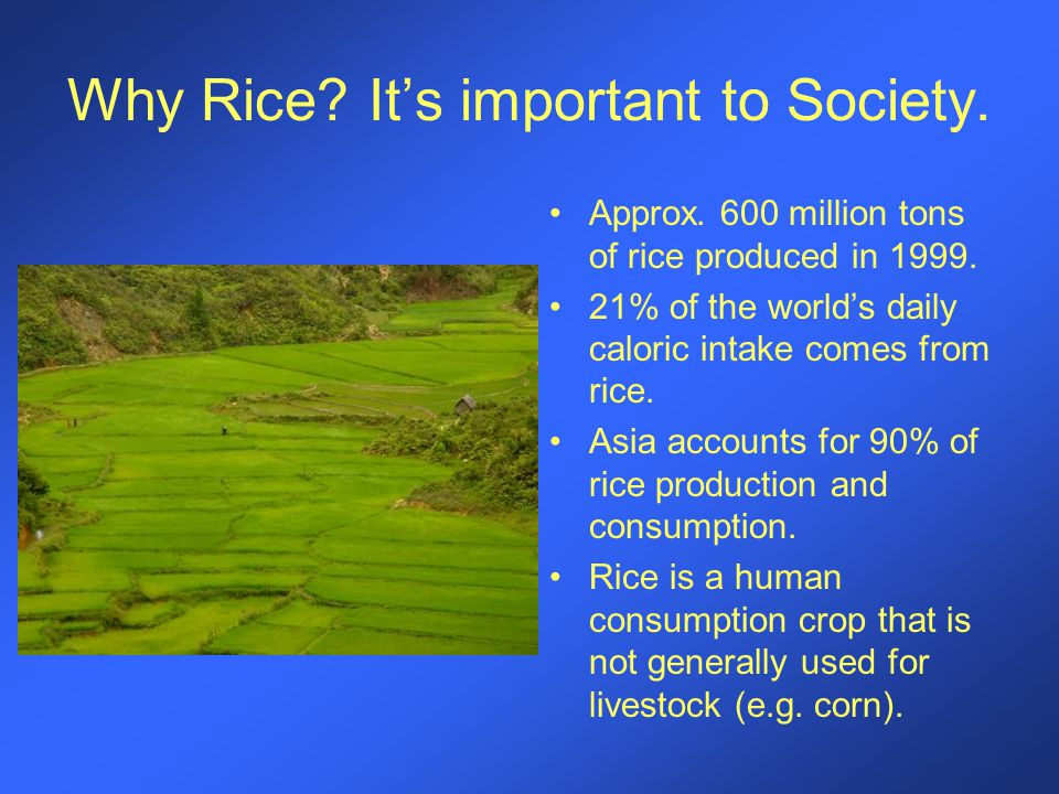 Why Rice? It's important to Society. Approx. 600 million tons of rice produced in 1999. 21% of the world's daily caloric intake comes from rice. Asia