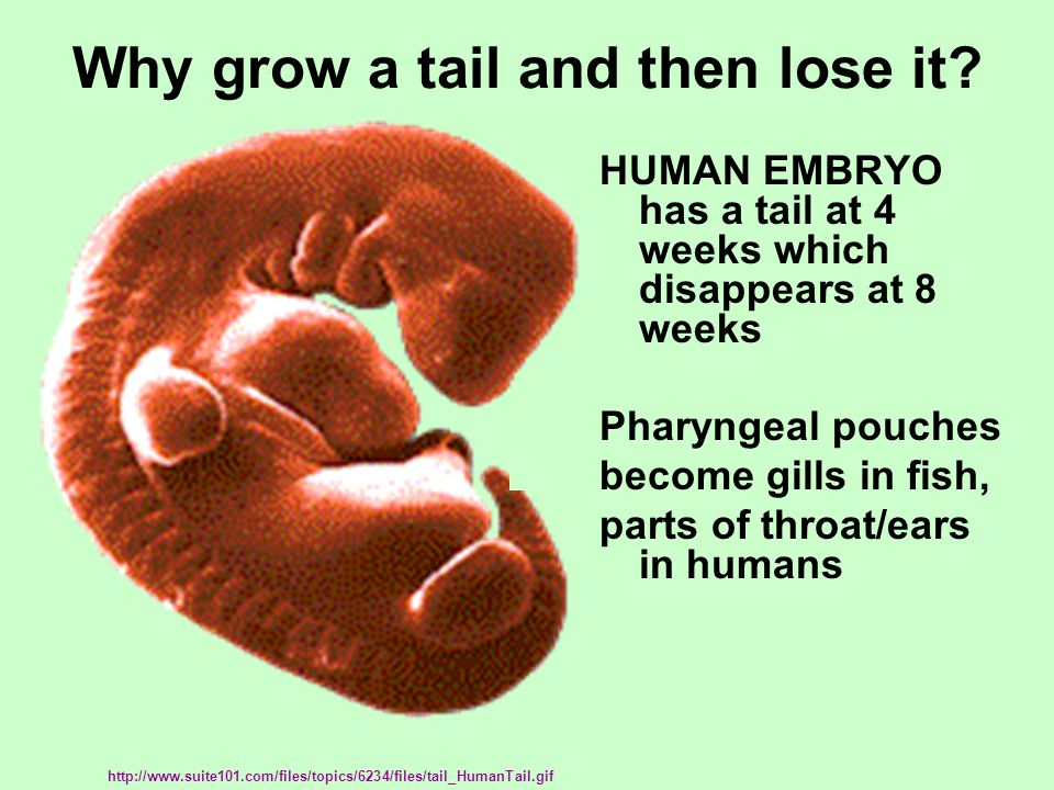 Why grow a tail and then lose it? http://www.suite101.com/files/topics/6234/files/tail_HumanTail.gif HUMAN EMBRYO has a tail at 4 weeks which disappea