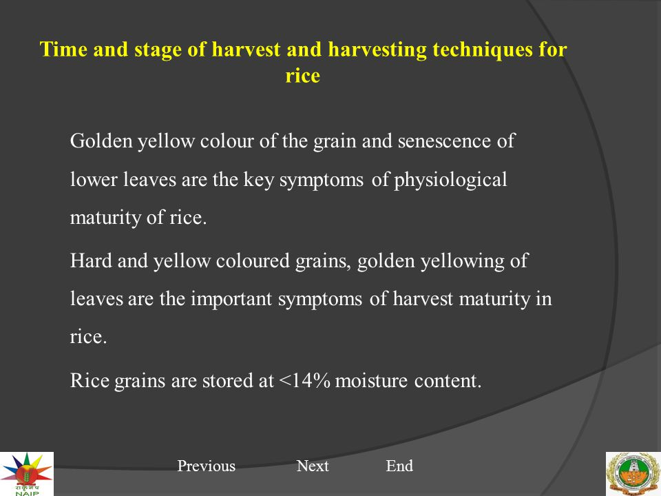 Time and stage of harvest and harvesting techniques for rice Golden yellow colour of the grain and senescence of lower leaves are the key symptoms of physiological maturity of rice.