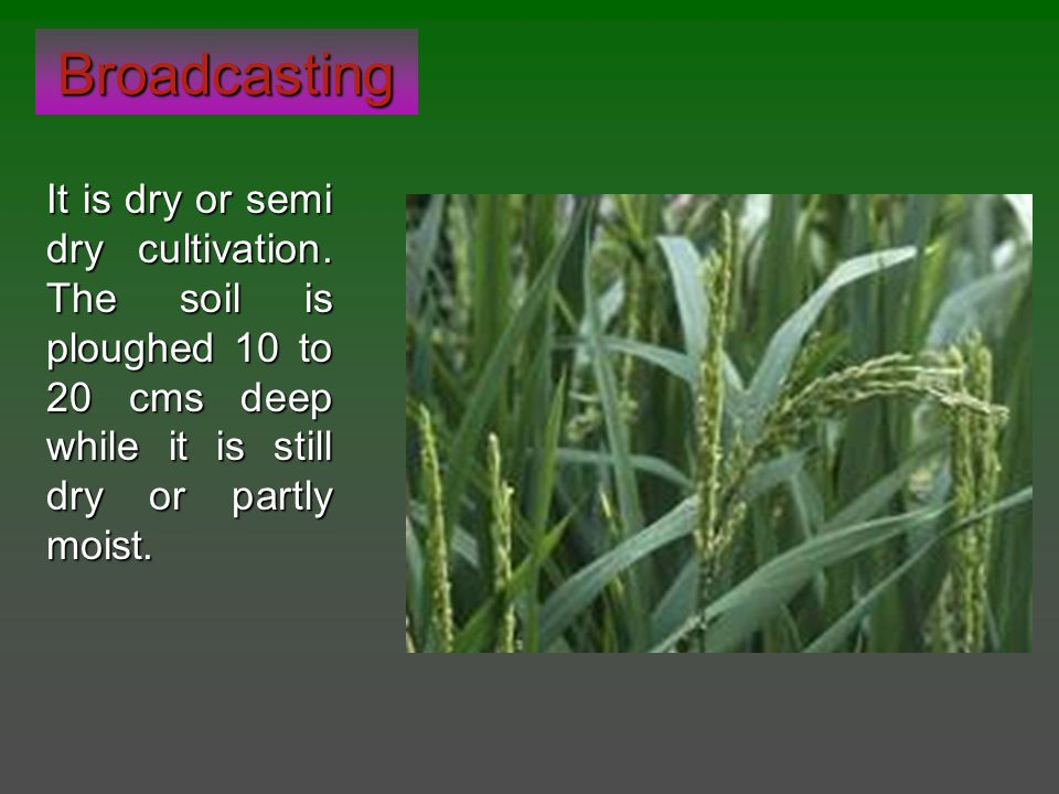 Broadcasting It is dry or semi dry cultivation. The soil is ploughed 10 to 20 cms deep while it is still dry or partly moist.