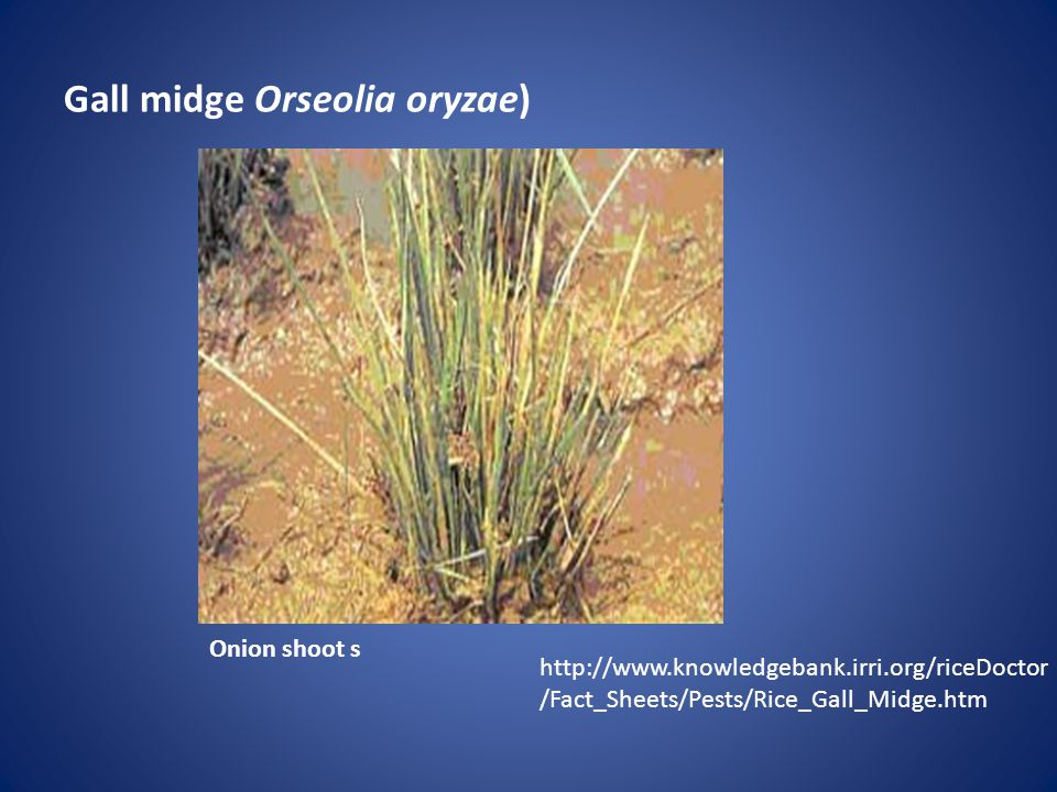 Gall midge Orseolia oryzae) Onion shoot s http://www.knowledgebank.irri.org/riceDoctor /Fact_Sheets/Pests/Rice_Gall_Midge.htm