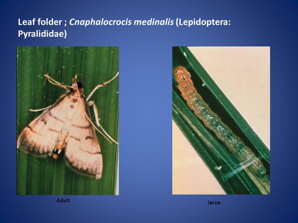 Leaf folder ; Cnaphalocrocis medinalis (Lepidoptera: Pyralididae) Adult larva