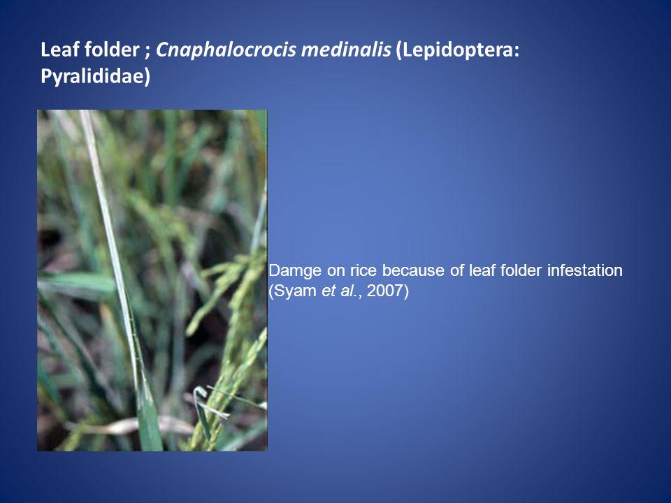 Leaf folder ; Cnaphalocrocis medinalis (Lepidoptera: Pyralididae) Damge on rice because of leaf folder infestation (Syam et al., 2007)