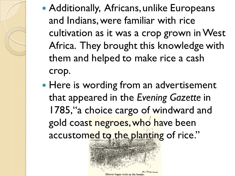 Additionally, Africans, unlike Europeans and Indians, were familiar with rice cultivation as it was a crop grown in West Africa.