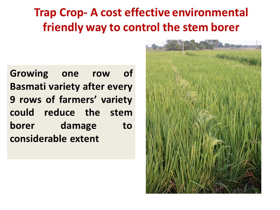 Trap Crop- A cost effective environmental friendly way to control the stem borer Growing one row of Basmati variety after every 9 rows of farmers' variety could reduce the stem borer damage to considerable extent
