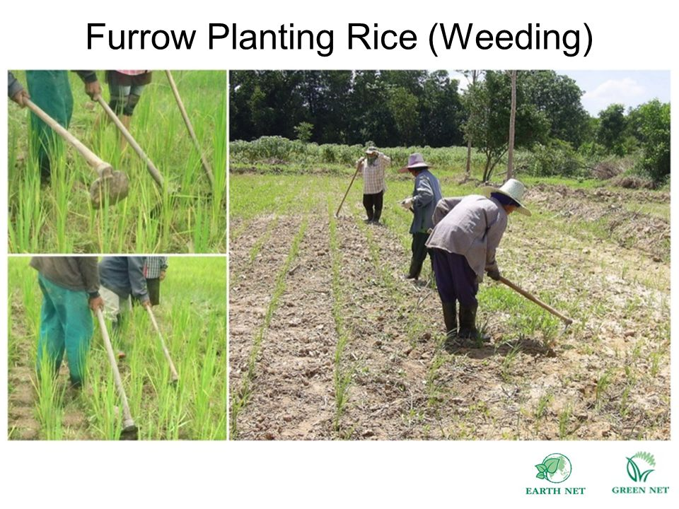 Furrow Planting Rice (Weeding)