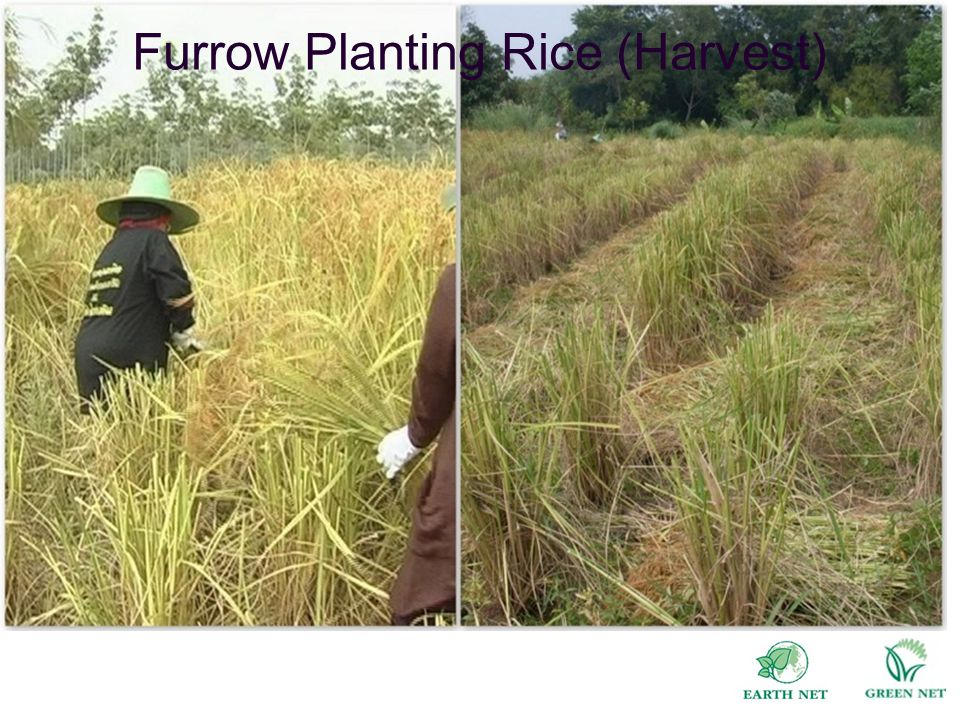 Furrow Planting Rice (Harvest)