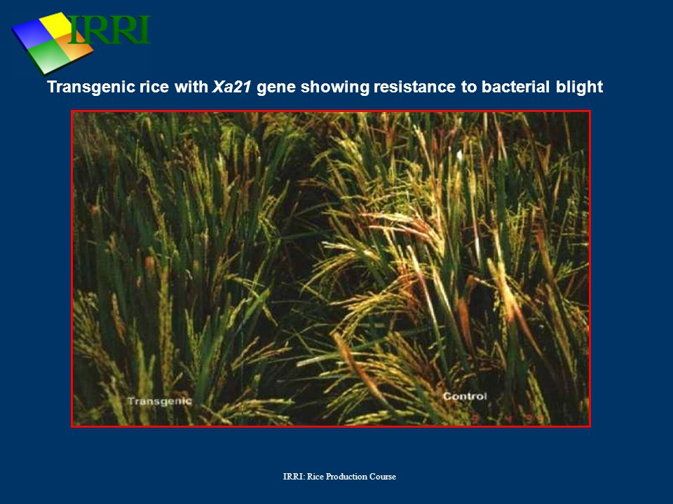 IRRI: Rice Production Course Transgenic rice with Xa21 gene showing resistance to bacterial blight