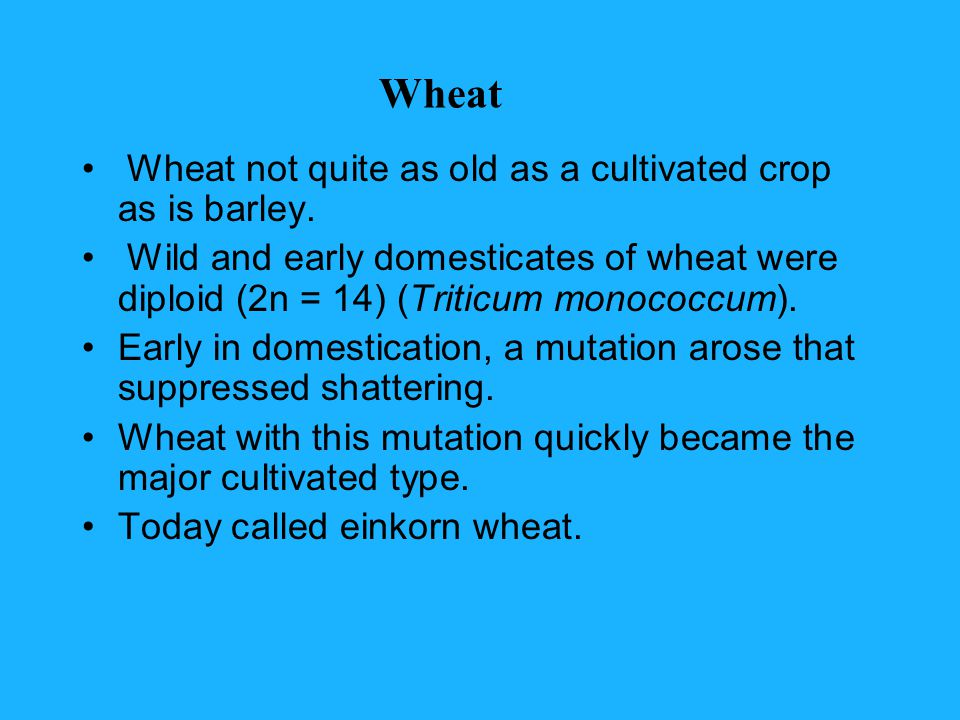Wheat Wheat not quite as old as a cultivated crop as is barley.