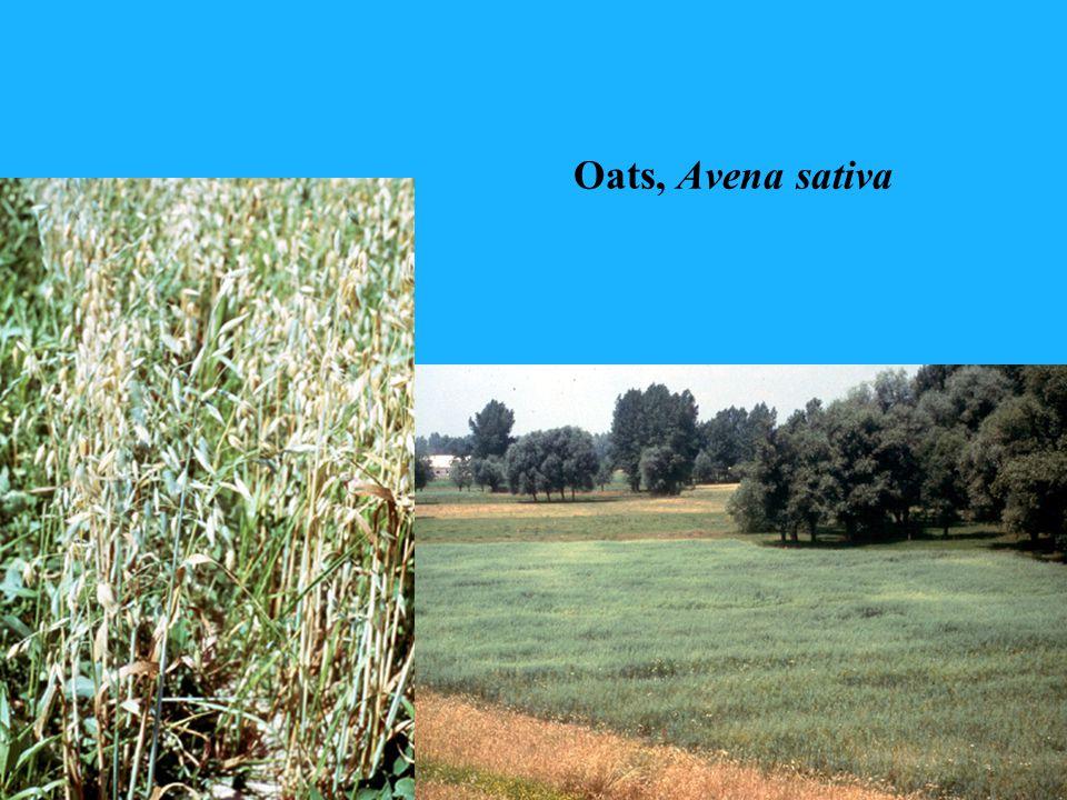 Oats, Avena sativa