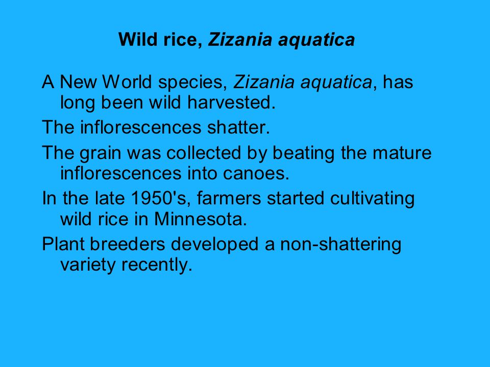 Wild rice, Zizania aquatica A New World species, Zizania aquatica, has long been wild harvested.