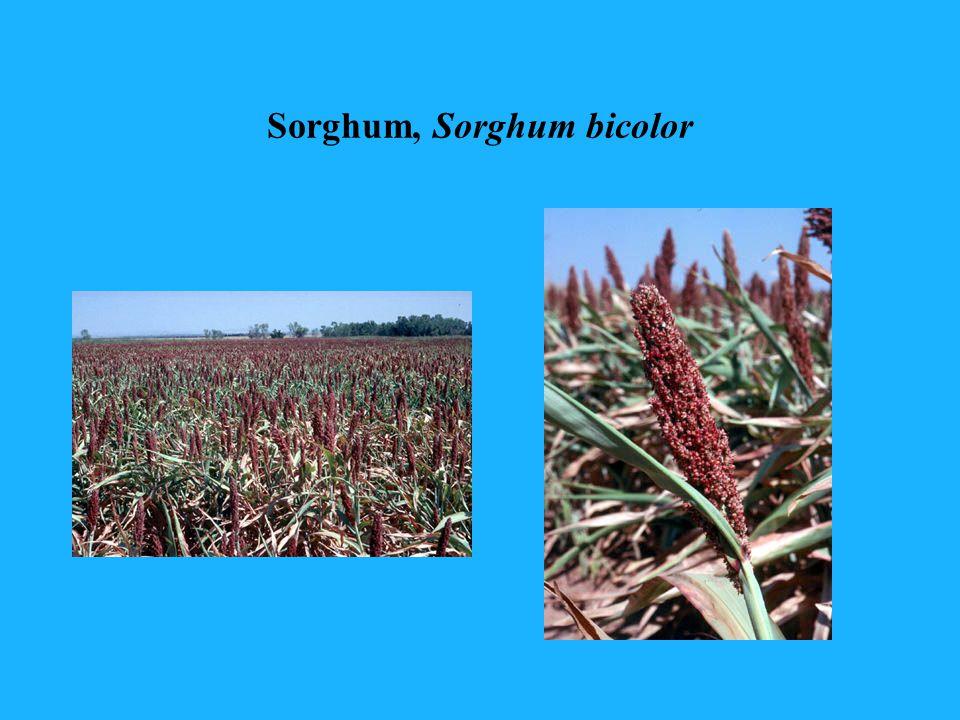 Sorghum, Sorghum bicolor