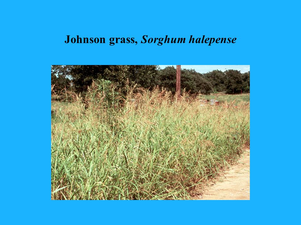 Johnson grass, Sorghum halepense