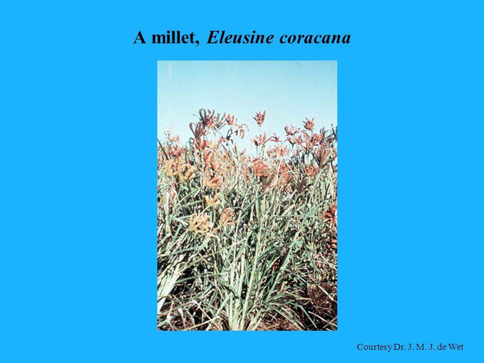 A millet, Eleusine coracana Courtesy Dr. J. M. J. de Wet