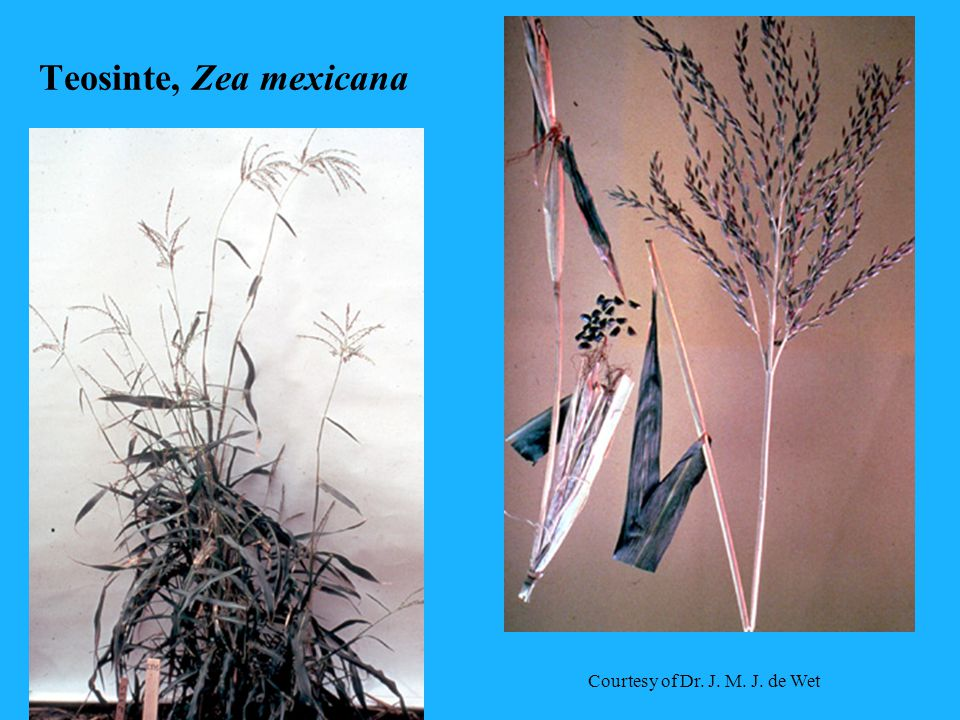 Teosinte, Zea mexicana Courtesy of Dr. J. M. J. de Wet