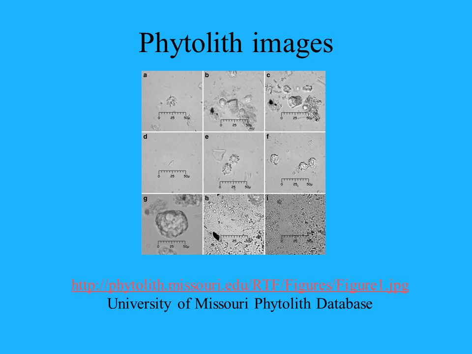 Phytolith images http://phytolith.missouri.edu/RTF/Figures/Figure1.jpg http://phytolith.missouri.edu/RTF/Figures/Figure1.jpg University of Missouri Phytolith Database