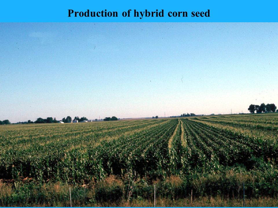 Production of hybrid corn seed