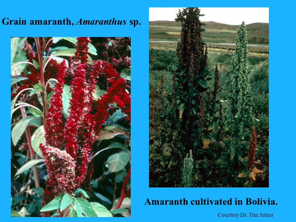 Grain amaranth, Amaranthus sp. Amaranth cultivated in Bolivia. Courtesy Dr. Tim Johns
