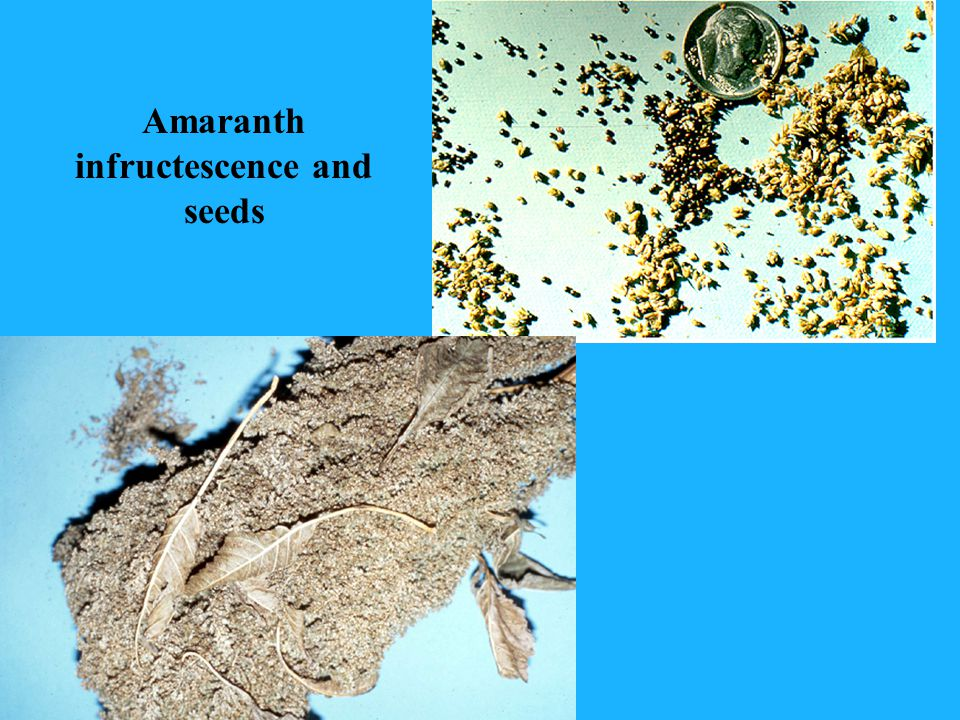 Amaranth infructescence and seeds