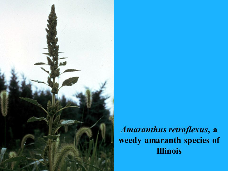 Amaranthus retroflexus, a weedy amaranth species of Illinois