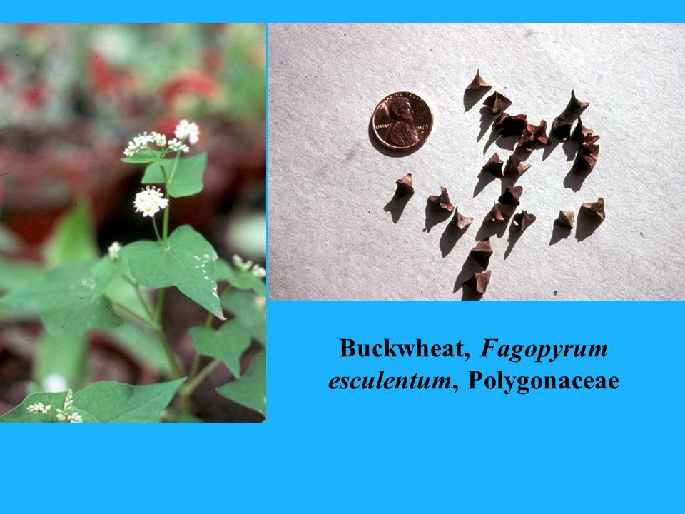 Buckwheat, Fagopyrum esculentum, Polygonaceae