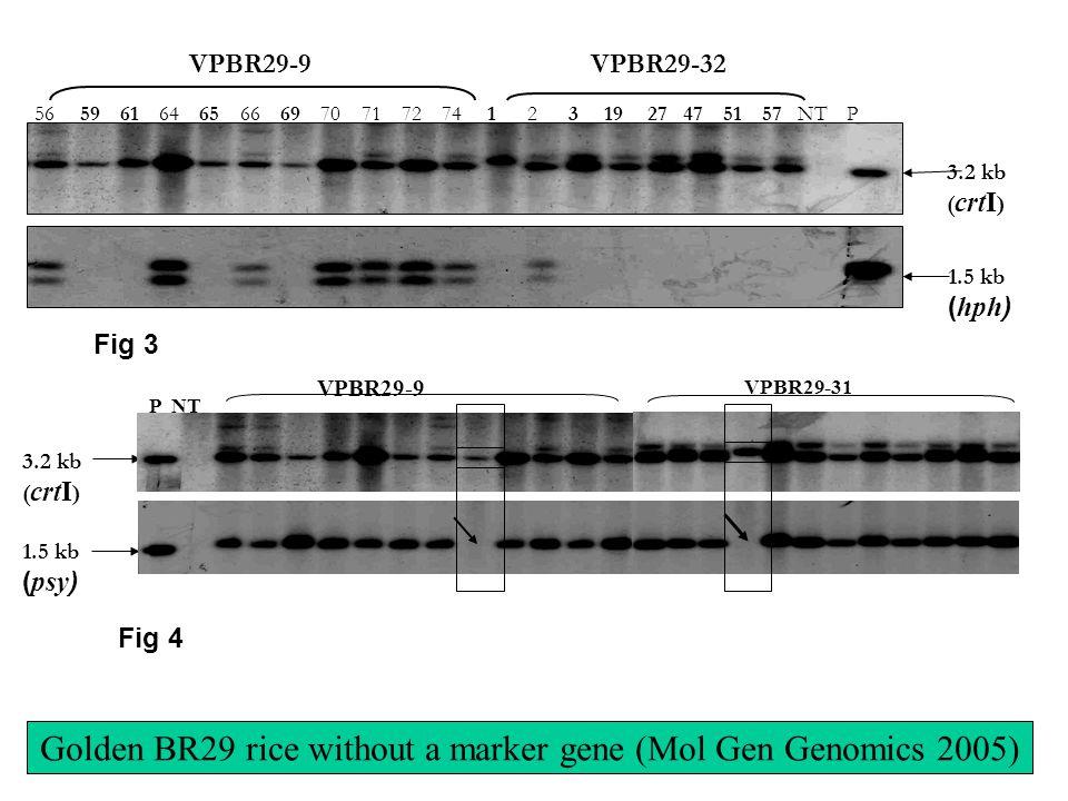 3.2 kb ( crtI ) 1.5 kb ( hph ) VPBR29-9 56 59 61 64 65 66 69 70 71 72 74 1 2 3 19 27 47 51 57 NT P VPBR29-32 Fig 3 Fig 4 VPBR29-9 VPBR29-31 P NT 3.2 kb ( crtI ) 1.5 kb ( psy ) Golden BR29 rice without a marker gene (Mol Gen Genomics 2005)