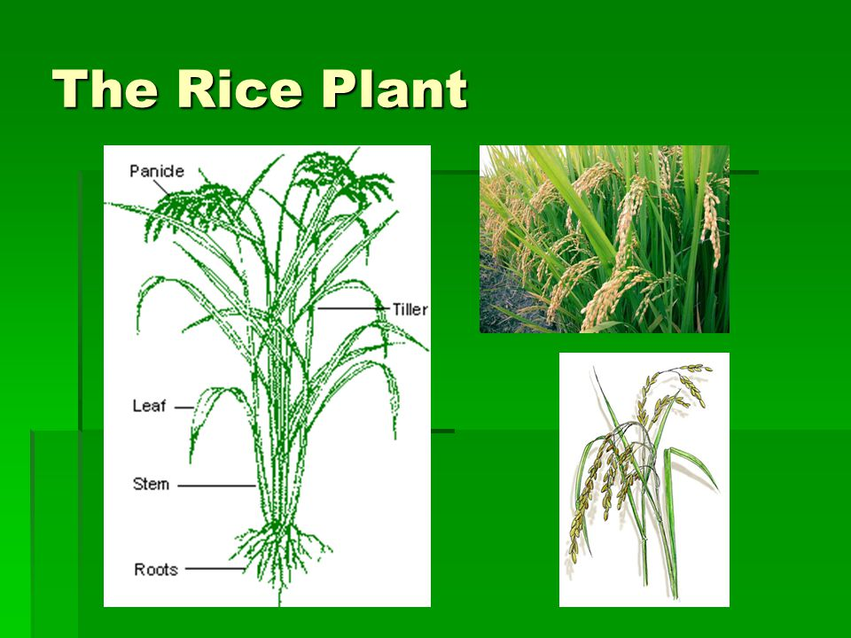 Green Revolution  The period of change of wet rice cultivation brought about by  The period of change of wet rice cultivation brought about by modern varieties of seeds/ HYVs, technology, irrigation facilities and use of fertilisers, pesticides and herbicides.